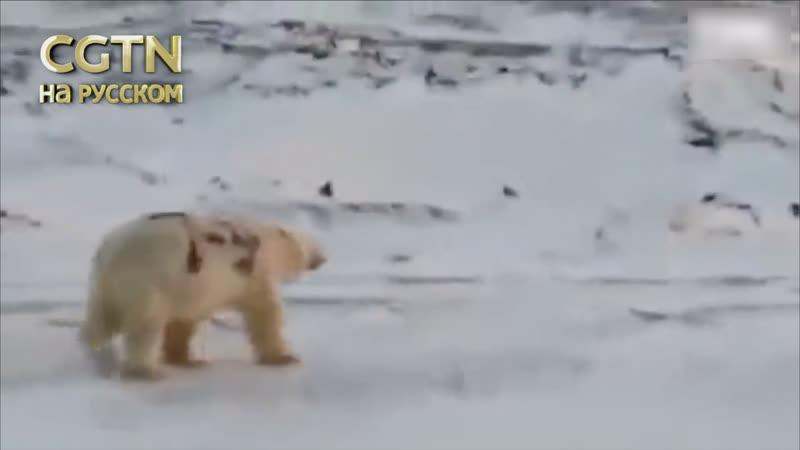 Ученые выясняют где было снято видео с белым медведем на боку которого написано Т 34