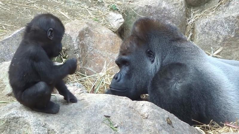 (11/26)家族を見守る父モモタロウ 2⭐️ゴリラ gorilla【京都市動物園】Father gorilla momotaro quietly watche