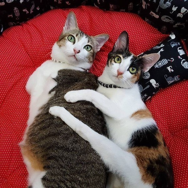 Кошка-кенгуру  история жизни кошки, потерявшей лапки и хвост.