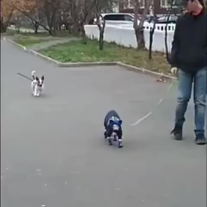Наш кот держит в страхе всех собак