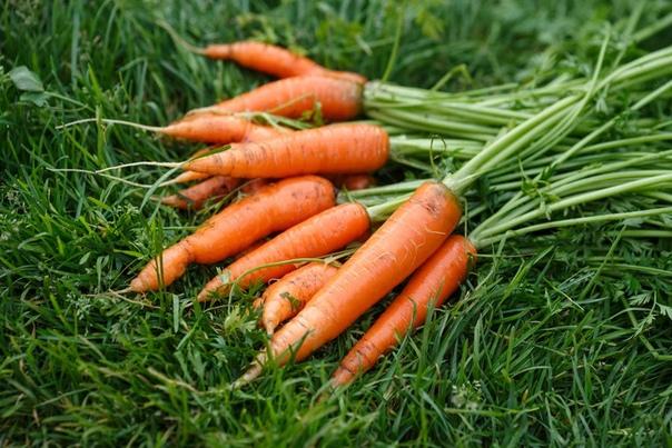 Сроки и технология уборки моркови.