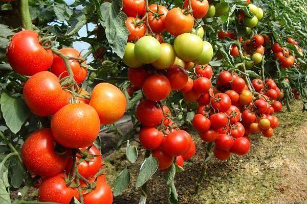 11 распространенных проблем при выращивании помидоров и способы их решения Растрескивание плодов.Причины: редкий или неравномерный полив, погодные скачки.Решение: поливайте помидоры регулярно и