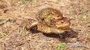 Серая жаба (Bufo bufo)