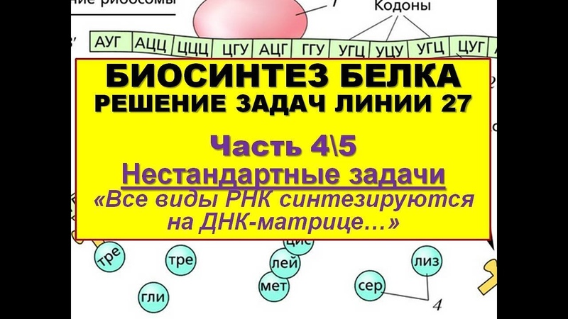 БИОСИНТЕЗ БЕЛКА. РЕШЕНИЕ ЗАДАЧ (4\5 часть - Все виды РНК синтезируются на ДНК...)
