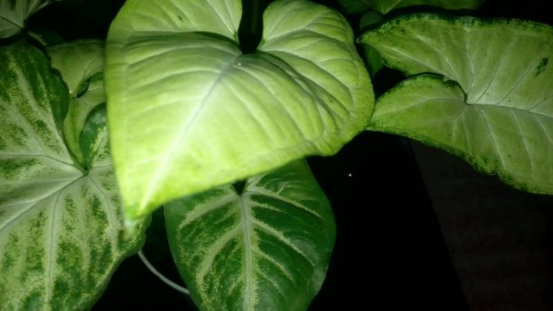 Сингониум Белая бабочка