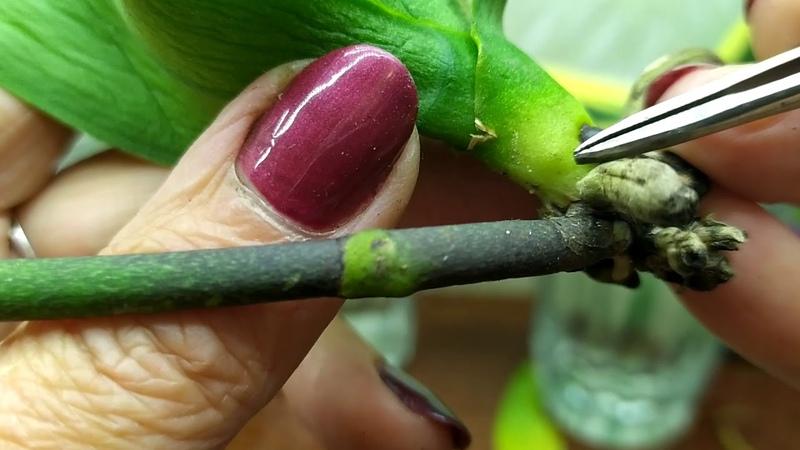 орхидея с вялыми листьями полностью без корней Как спасти орхидею часть 2