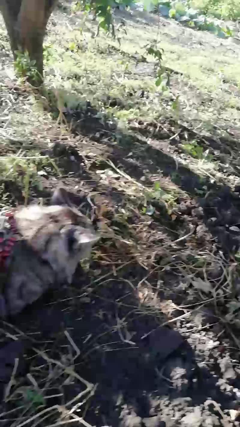 Live: Питомник Silver Lynx Мейн-Кун котята