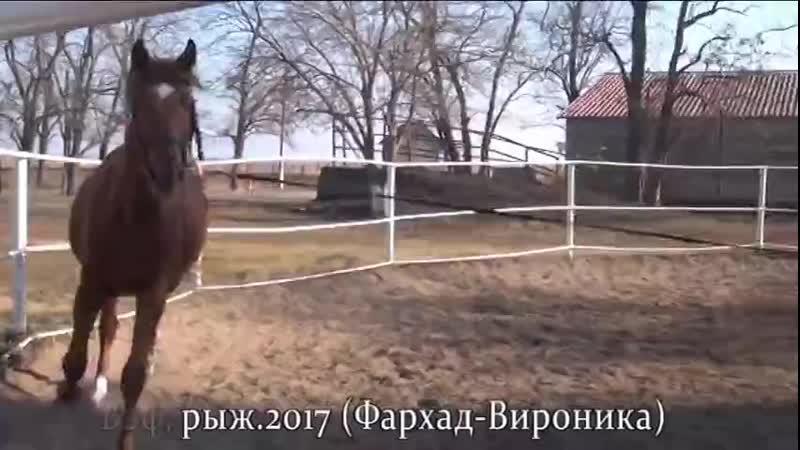 Вэф рыж 2017 Фархад Вироника ООО 'Конезавод 'Олимп Кубани' mp4
