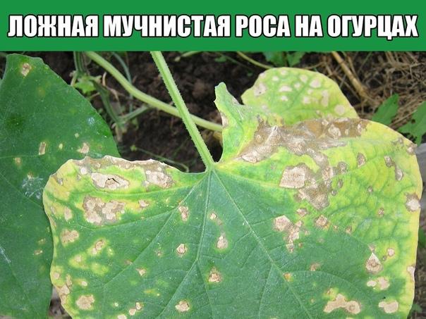 Ложная мучнистая роса на огурцах