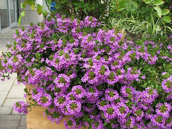 Странный однолетник с цветком-веером: удивляет и украшает сад с мая по сентябрь.