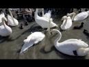 прекрасные лебеди в Евпатории. Крым