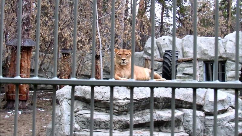 Львица Найтирия и лев Сэм. Сэм переговаривается с амурским тигром Максом. 02.11.20 г.