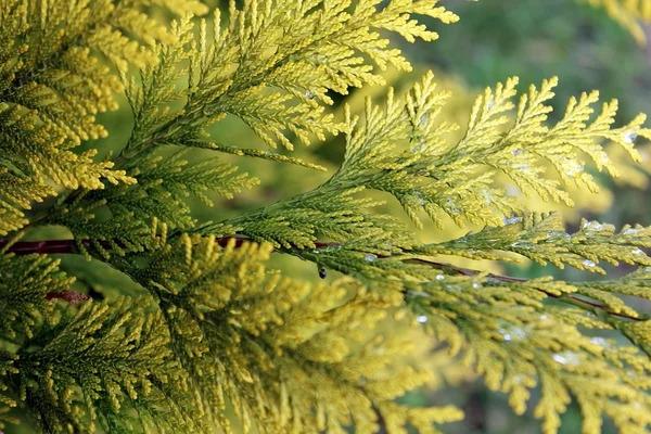5 ПРИЧИН ПОЖЕЛТЕНИЯ ТУИ Сохраните, чтобы не потерять!Почему желтеют туи Выясним причины и узнаем, какие способы существуют для устранения проблем.Причины пожелтенияХвойные растения в большинстве