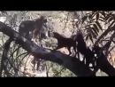Противостояние диких Кошек и Волков против Собак ...