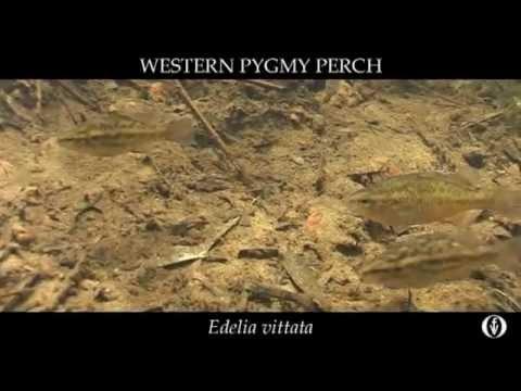 Film 1 6 NFF Western Pygmy Perch