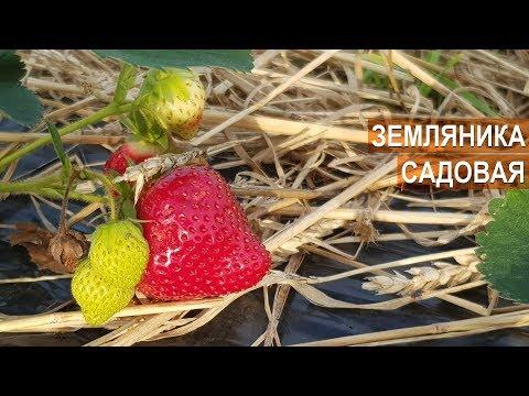 ВЫРАЩИВАНИЕ ЗЕМЛЯНИКИ. ПЕРВЫЙ ОПЫТ. КФХ Игоря Дмитриева