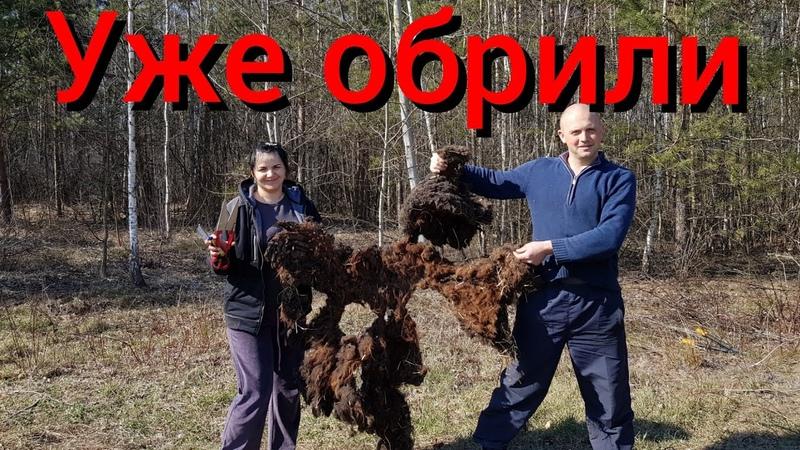 Первый раз в жизни стрижём овец которых никогда и никто не стриг Стрижка запущенных грязных овец