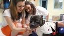 Питбуль собаки Канис-терапия Собакотерапия Канистерапия зоотерапия
