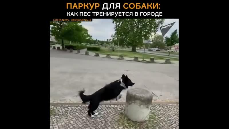 Паркур для собаки как пес тренируется в городе