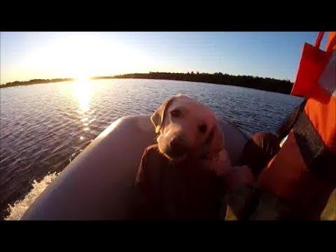На рыбалку Джесси на лодке! природа ХМАО! 21.07.2018 Labrador Jesse