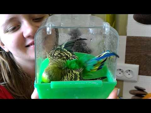 попугай принимает ванну