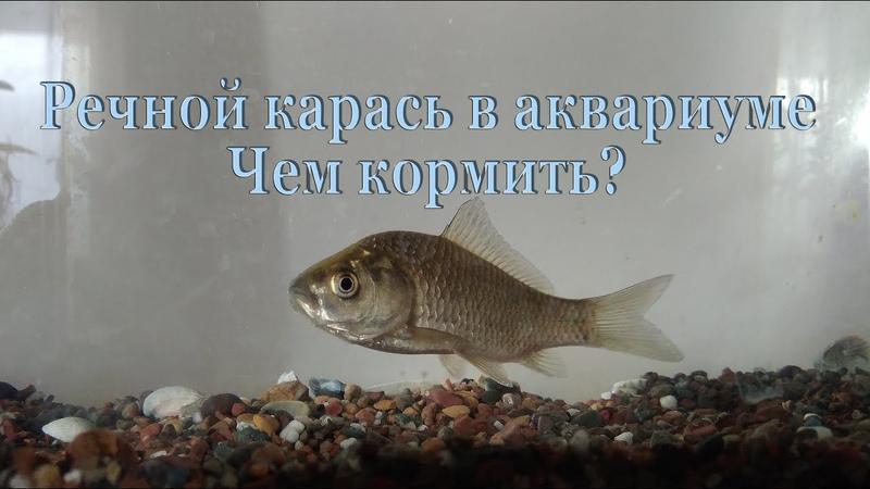 Речной карась в аквариуме. Чем кормить?