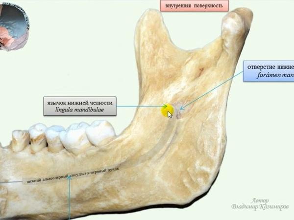 Анатомия нижней челюсти