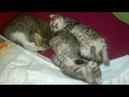 КОШКИ И БЛОШКИ/Как избавиться от блох у котят/Мой опыт/