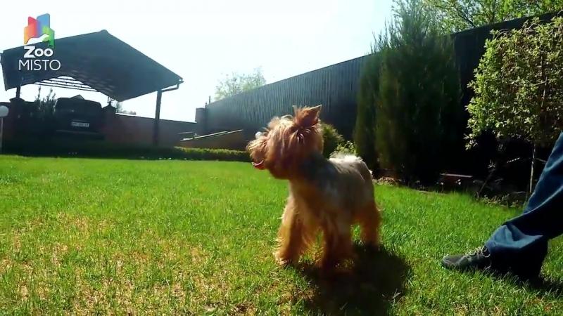 Йоркширский терьер Интересные факты о породе Собака породы йоркширский терьер