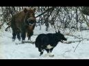 Охота на КАБАНА с собаками. Лайки красиво поработали с кабаном на охоте