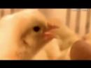 Вербовка цыплят в инкубатор