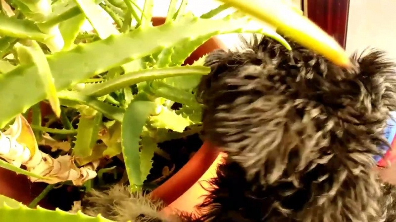 Щенок Цвергшнауцер, ест цветок алое
