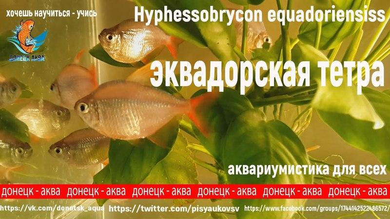 эквадорская тетра, Hyphessobrycon equadoriensis, аквариумные рыбки, аквариумистика