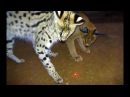 Which African BIG Small Cats Play With Laser Light Toys? | Cheetah Leopard Lion Caracal Serval