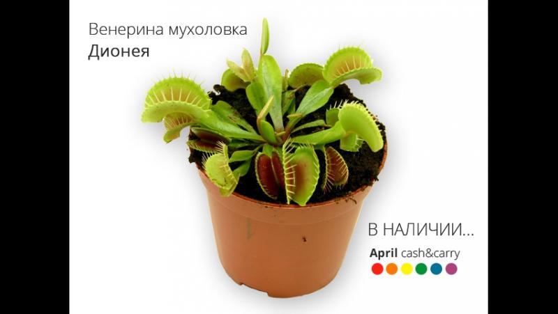 Венерина мухоловка Дионея Dionaea