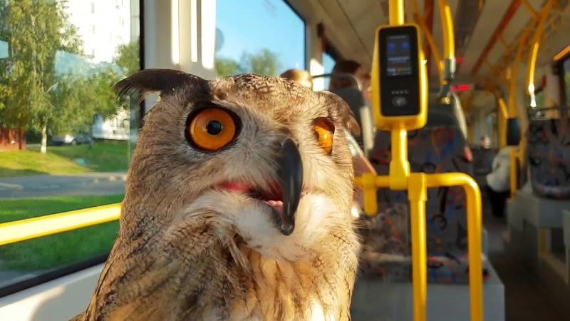 Сова едет в трамвае и в автобусе. Филин Ёль и общественный транспорт
