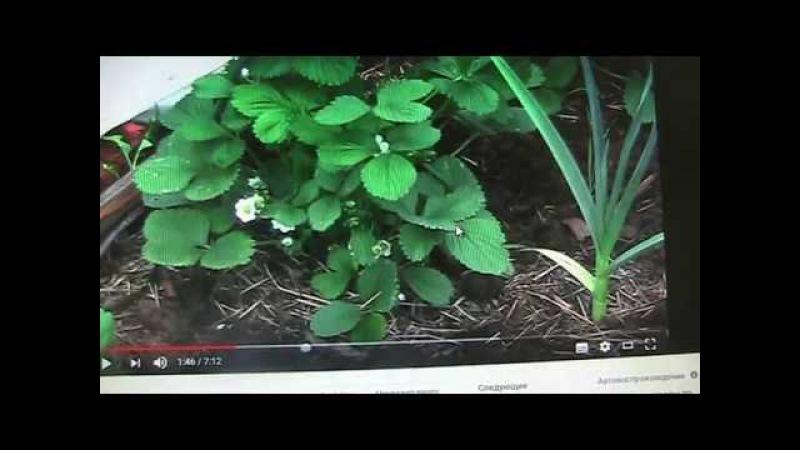 Земляника садовая крупноплодная раннего срока созревания часть -2 Секреты хороших урожаев.