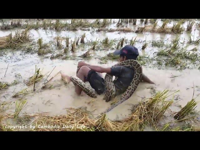 Камбо. Блокбастер с рисовых полей 2. Cambo, children and snakes. Blockbuster from rice fields 2.