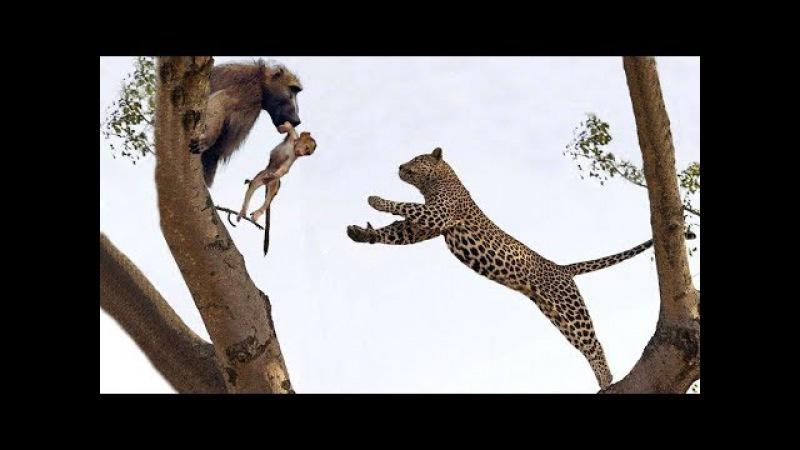 Ngàn cân treo sợi tóc khỉ đầu chó tấn công sư tử báo đốm có kết cục Lion vs Brave baboon