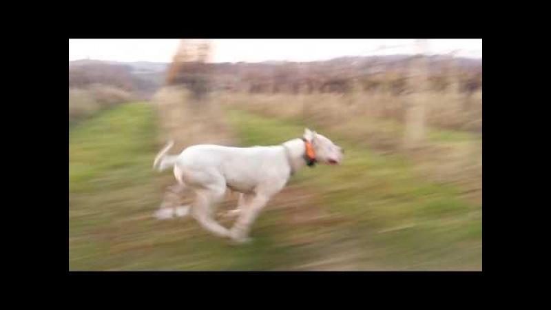 Dogo Argentino - A velocidade de um Dogo Argentino por Bravura Del Ayar