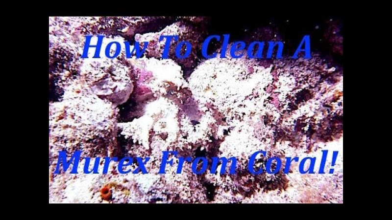 How To Clean A Murex!