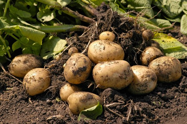 Посадка картофеля без перекапывания грунта или мой способ, который дает свои результаты.