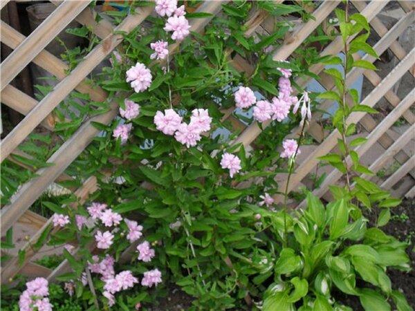 Красива как роза и неприхотлива как сорняк  калистегия. Цветет с июля до морозов!