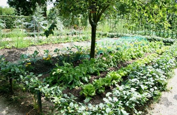 Какие овощи растут в тени в огороде