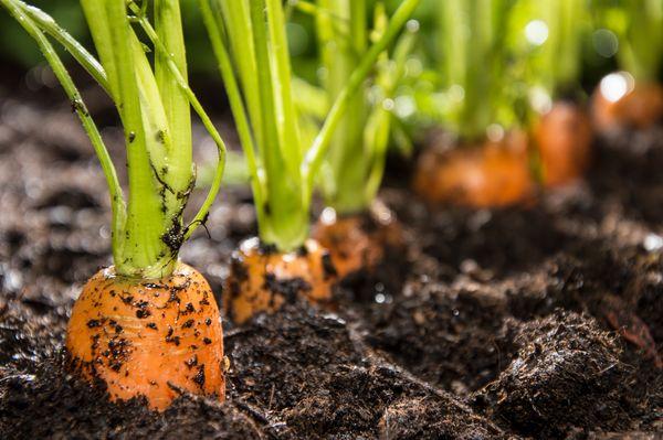 5 этапов посева моркови. Легкий способ, не требующий прореживания.