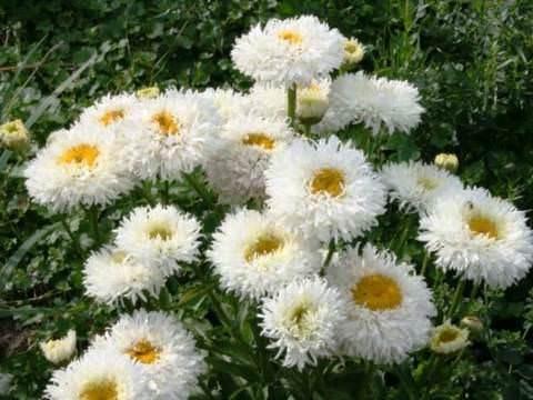 Нивяник Простота и элегантность нивяника, а попросту ромашки, завораживает и не оставляет равнодушным цветоводов. Множество сортов этого великолепного растения способны придать участку