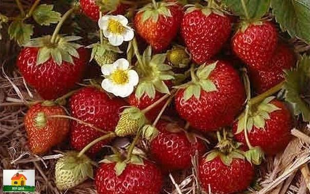 УДОБРЕНИЯ ДЛЯ КЛУБНИКИ ИЗ ХЛЕБА, ИЗ СЫВОРОТКИ, ИЗ ПОМЕТА, ИЗ КРАПИВЫ Сохраните, чтобы не потерять!Удобрение клубники народным методом, даёт неплохую возможность вырастить хороший урожай ягоды,