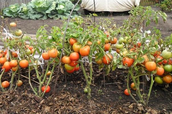 Помидоры  сразу в грядку. Можно ли посадить томаты безрассадным способом
