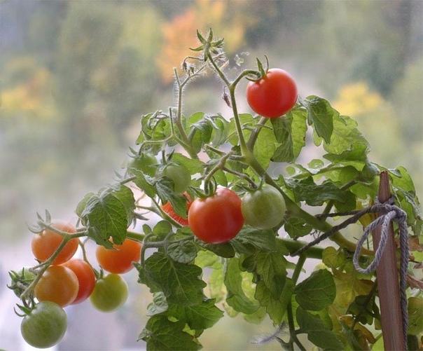 КАК ВЫРАСТИТЬ ПОМИДОРЫ НЕ ВЫХОДЯ ИЗ КВАРТИРЫ Помидоры хорошо растут не только на садовом или дачном участке. Можно разбить «грядку» и на балконе. Выращивание помидоров и уход за ними в условиях