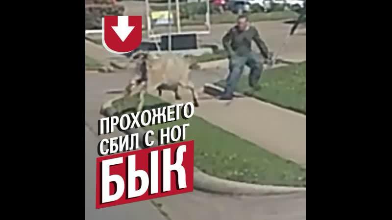 Бык убегал от полиции и прыгнул на прохожего